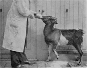 bending-goats