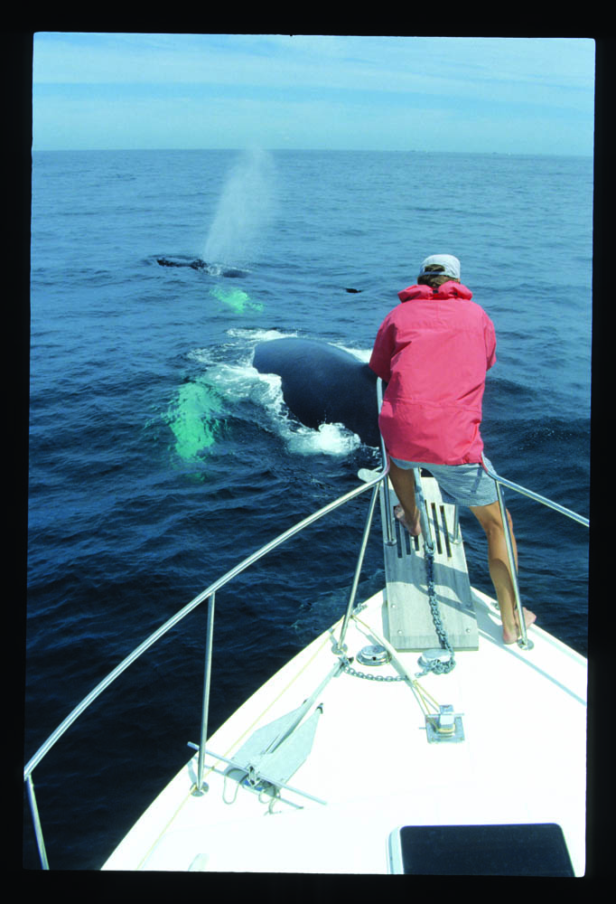 Gilliam's home waters are summer feeding grounds for Norht Atlantic Humpback whales. Here singer Johnthan Edwards is introduced to a 55-ft female in the Gulf of Maine, 1992